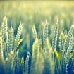 wheatie